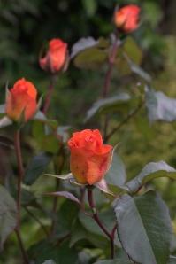 Roses.CR2
